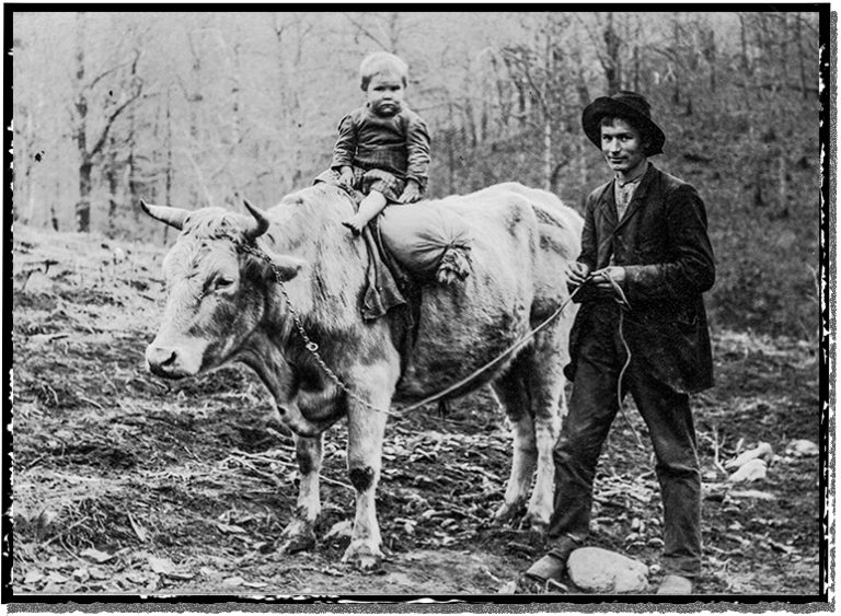 A little boy rides a great big old oxen.